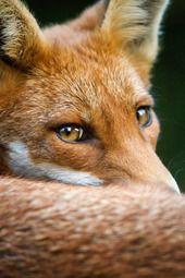 #Fox #wildlife by Alannah Hawker