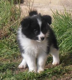 Border Collie Puppies, Collie Mix, Border Collies, Cat Paws, Dog Cat, Cute Boarders, Cute Puppies, Dogs And Puppies, Real Dog