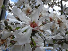 Star Magnolia (Magnolia stellata). Showy, large white or pink, mildly fragrant flowers open before the leaves in early spring. It can be grown as a large shrub or small tree. Native to Japan.