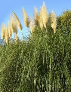 Growing Pampas Grass: How To Care For Pampas Grass