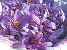 Le Safran saura colorer vos plats et leur donner un petit goût d'exotisme. La Charente-Maritime compte plus d'une vingtaine de producteurs de Safran | Charente-Maritime Tourisme #charentemaritime | #safran | #produitslocaux | #terroir | © CDCHS - V. SABADEL