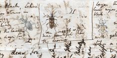 Detail from a letter, dated 30th June 1828, from Charles Darwin to William Darwin Fox with drawings of beetles by his sister Caroline