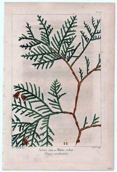 White Cedar (North American?)