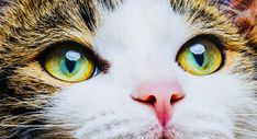 Cat eye colors are incredibly vast, with more variation than that of most other animals in the animal kingdom! Animal Close Up, Cat Eye Colors, Jigsaw Puzzle, What Cat, Close Up Photography, Free Canvas, Poster S, Stock Art, Beautiful Cats