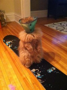 Such a tiny cone of shame for such a fluffy kitty...