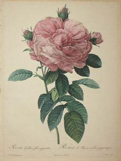Rosa Gallica flore giganteo..  Pierre-Joseph Redouté (1759-1840)