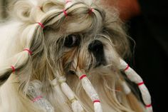 Pictures of Dog Hairstyles | POPSUGAR Pets/Poor baby. All we go through for beauty