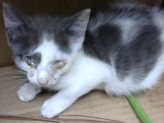 Petango.com – Meet Central, a 1 month 7 days Domestic Shorthair / Mix available…