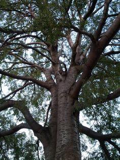 El almez es uno de los árboles que mejor soporta y absorve la contaminación de las ciudades