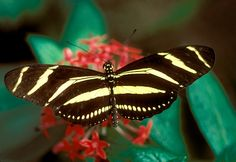Zebra Longwing (Heliconius Charitonia)