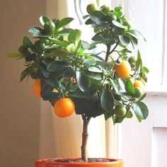 How to grow a garden and plant in your Foyer or Apartment Balcony! Great ideas even how to Grow Citrus Indoors for Great Smell! Welcome Spring!    http://www.apartmenttherapy.com/gardening-without-a-garden-10-ideas-for-your-patio-or-balcony-renters-solutions-167221