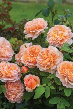 The Lady Gardener - David Austin English Rose