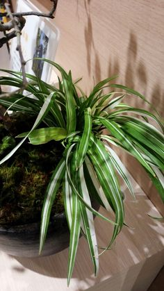 3/1◯フイリキチジョウソウ(斑入り吉祥草)クサスギカズラ科キチジョウソウ属 多年草 日本国内では関東から九州、また中国の林内に自生し、栽培されることもある。 家に植えておいて花が咲くと縁起が良いといわれることから吉祥草の名がある。