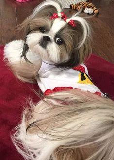 More About Cute Shih Tzu Puppies Shitzu Puppies, Cute Puppies, Cute Dogs, Dogs And Puppies, Doggies, Shih Tzu Puppy, Shih Tzus, Lion Dog, Dog Cat