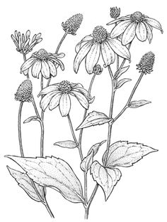 Flower sketches: Ravishing Rudbeckia—Coneflowers That Light up the .Ravishing Rudbeckia—Coneflowers That Light up the Fall Garden My first encounter with coneflowers ( Rudbeckia ), also called black-eyed Susa.black and white pictures of flower bo Flower Line Drawings, Botanical Line Drawing, Floral Drawing, Flower Sketches, Botanical Art, Botanical Illustration, Art Drawings, Drawing Flowers, Plant Drawing
