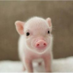 PIGLET by Sweet Angel Wings Pigs Micro piglet miniature pig baby animals pets baby animal micro micropig pet family minipig small funny videos best piggie piggies Самые смешные фото и видео дикой природы Wildlife Photography Awards 2020 Cute Baby Pigs, Baby Piglets, Baby Animals Super Cute, Cute Piglets, Cute Little Animals, Cute Funny Animals, Little Pigs, Baby Animal Videos, Baby Animals Pictures