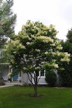 Small Tree For Front Yard Japanese Gardens 53 Ideas For 2019 Deciduous Trees, Trees And Shrubs, Flower Landscape, Landscape Design, White Lilac Tree, Japanese Lilac Tree, Frosted Christmas Tree, Trees For Front Yard, Moon Garden
