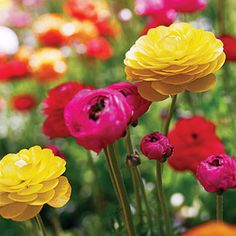 Ranunculus- have always loved these.  Like a cross between a poppy a peony and a rose...