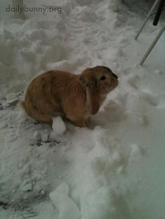 It's bunny's last chance this year to play in snow - April 26, 2014