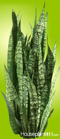 Green and yellow Sansevieria Sanseviera plant  Originally from South Africa,  another one of those hardy almost impossible to kill plants that thrives on neglect. These plants, also called Snake Plants and Mother in Law's Tongue Plants.  Excellent clean air plant.