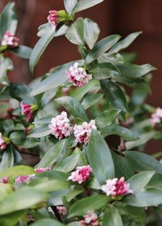 Daphne Odora.  Beautiful flowering shrub.  The gorgeous scent carries forever