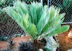 Encephalartos Dolomiticus Wolkberg Cycad Wolkbergbroodboom S A Tree Fern, Ferns, Cactus Plants, Home And Garden, Gardening, Cacti, Lawn And Garden, Cactus, Horticulture