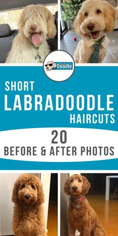 Goldendoodle Haircuts, Goldendoodle Grooming, Dog Haircuts, Mini Goldendoodle, Puppy Haircut, Poodle Haircut, Poodle Mix Breeds, Dog Breeds, Black Labradoodle