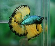 BettaSource is the source for betta fish care information and community interaction about Bettas. Pretty Fish, Beautiful Fish, Colorful Fish, Tropical Fish, Betta Fish Types, Beta Fish, Freshwater Aquarium Fish, Yellow Sky, Siamese Fighting Fish