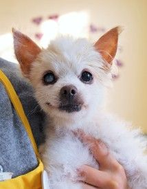 Cute #MuttvilleSF mutt: Billy Pup 2937 (Pomeranian | Male | Size: small (6-20 lbs))