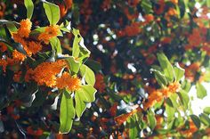 fragrant olive - きんもくせい my favorite flower in the world. 家の庭にはきんもくせいを植える!四季折々のお花もほしいなぁ♡