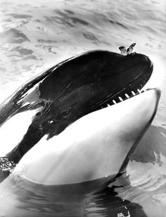 A butterfly lands on the nose of Hugo the killer whale. Seaquarium, Miami, Florida - June 1970~Photo: Alan Band~♛