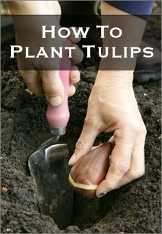 FALL is the time to plant those beautiful spring bulbs (tulips, daffodils, crocus, etc. Spring Bulbs, Spring Blooms, Garden Bulbs, Garden Plants, Gardening For Beginners, Gardening Tips, Texas Gardening, Container Gardening, Planting Tulips