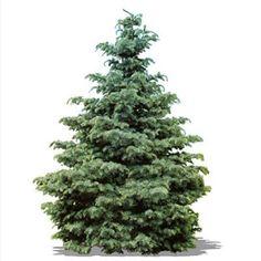 White Fir - Live Christmas Trees