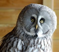 The Great Grey Owl is a very large owl, distributed across the Northern Hemisphere.