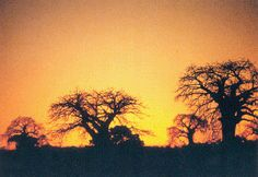 Baobabs in Tete, Mozambique