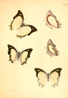 Animal - Insect - Butterfly - Lepidoptera indica 1898  (3)