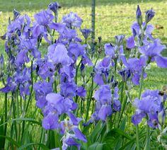 Lovely blue iris