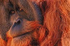 Photography by Frans Lanting: Bornean Orangutan, Indonesia Image Photography, Wildlife Photography, Orangutan Indonesia, Bornean Orangutan, Orangutans, Frans Lanting, National Geographic Photographers, Animal Heads, Borneo