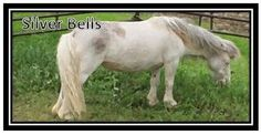 Silver Bells is an adoptable Miniature Horse Miniature Horse in Rosholt, WI. Meet little Silver Bells! She is a grade class a miniature mare and is a very sweet gal. She loves kids and they could safe...
