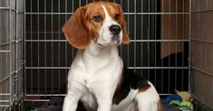 Photo about Sad Beagle Dog sits in cage. Image of crate, beagle, loneliness - 27247110 Dog Crate Pads, Dog Boarding Near Me, Puppy House, Education Canine, Dog Insurance, Crate Training, Training Tips, Dog Training, Charades