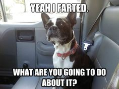Those Boston Terrier farts.... ugh-ola!  See more Boston Terrier memes and pictures at: http://bostonterrierworld.com/