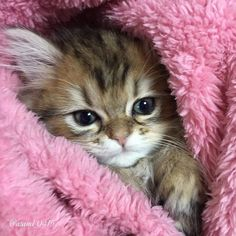 Cute Cats Names Female along with Cute Cats Photos For Wallpaper any Pictures Of Cute Kittens For Sale Cute Kittens, Kittens And Puppies, Kittens Meowing, Fluffy Kittens, Ragdoll Kittens, Tabby Cats, Bengal Cats, Kittens Playing, Bengal Tiger