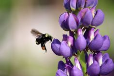 This little bee was busy getting nectar from a lupin flower in Strathcona… National Geographic Photos, Your Shot, Amazing Photography, Bee, Flowers, Honey Bees, Bees, Royal Icing Flowers, Flower