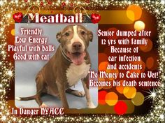 KILLED ☠TO BE DESTROYED 01/07/16 **NEEDS A NEW HOPE RESCUE TO PULL** 12 years old and humans want him killed b/c Meatball is destructive...give me a break . My old dog will pee on the floor sometimes, is that a reason to have him killed by strangers. No !  Compassion is part of my DNA and it is unfortunate that more of the compassionate DNA isn't in the American population .