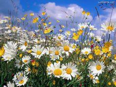 Ox Eye Daisies   Papéis de parede Flores Flores, fotos, imagens e wallpaper é no WALLDESK