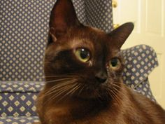 Cat Breeds Picture Gallery - Featuring Godiva, a Sable Burmese Cat