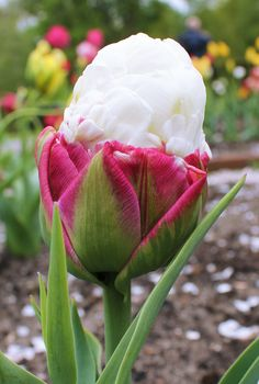 We sell all world famous Dutch flower bulbs. Starting from Tulips, Daffodils or Narcissus to Hyacinths. We also have a large assortment of Dahlias, Lilies and specialty bulbs. Tulips Flowers, Bulb Flowers, Love Flowers, Daffodils, Spring Flowers, Planting Flowers, Unusual Flowers, Amazing Flowers, Blossom Garden