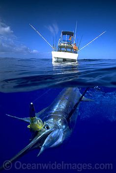 A fishing lure in its mouth this blue marlin. - Seatech Marine Products & Daily Watermakers A fishing lure in its mouth this blue marlin. Bass Fishing Lures, Sport Fishing, Fishing Boats, Fishing Reels, Deep Sea Fishing, Gone Fishing, Fishing Tips, Fishing Quotes, Marlin Fishing