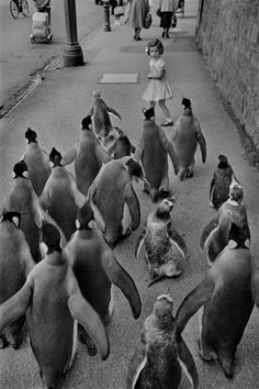 Trip into the city for these penguins hey! -Penguins Day Out  WERNER BISCHOF #ummcommunications