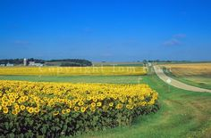 Sunflowers bloom in farmers field, rural landscape in Barnes County near Kathryn, North Dakota, AGPix_0702.  COPYRIGHT:© Tom Bean.